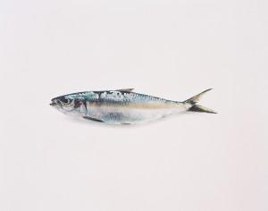 Sardine I, 1998, 37,5 x 48 cm, s/w- Barytpapier koloriert, Edition 5