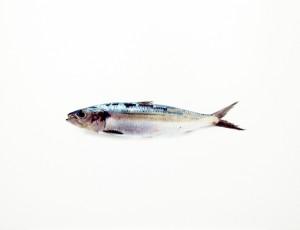 Sardine II, 1998, 37,5 x 48 cm, s/w- Barytpapier koloriert, Edition 5