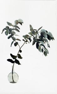 Eukalyptuszweig, 2001, 124 x 76 cm, s-w-Barytpapier koloriert, Edition 2