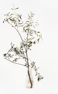 Olivenzweig, 2001, 124 x 76 cm, s-w-Barytpapier koloriert, Edition 2