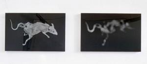 Tote Ratte (I+II), 2x 30 x 50 cm (ca.), s-w-Barytpapier koloriert, schwarzes Acrylglas